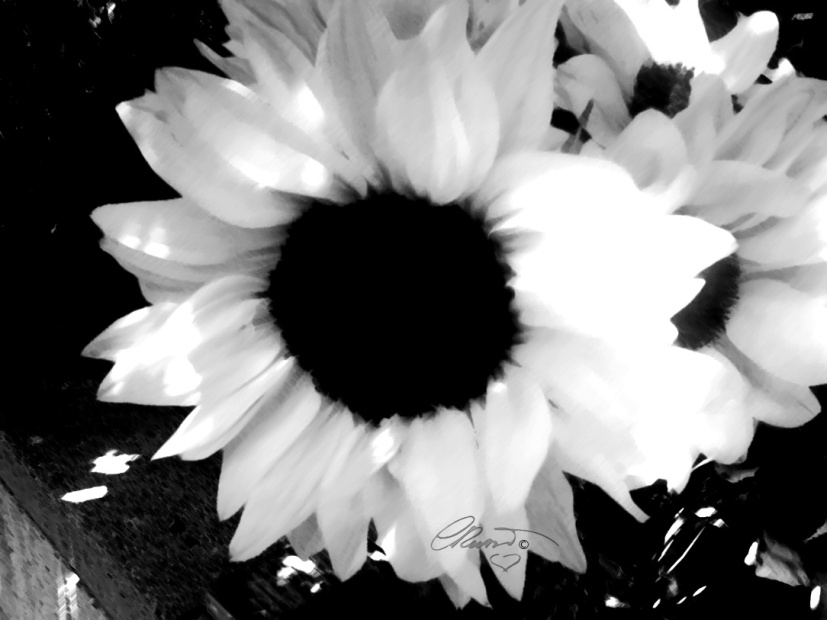 White Sunflower - Digital Art ©Carolina Russo