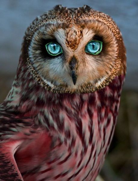 Rare Red Owl - Photo Source   Pinterest