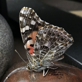 Painted Lady Butterfly - Photo ©CarolinaRusso